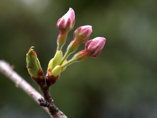 Cherry blossom buds in Takano