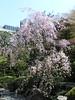 枝垂桜 グランドプリンスホテル高輪