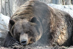 wombat(0.0), animal(1.0), american black bear(1.0), zoo(1.0), mammal(1.0), grizzly bear(1.0), fauna(1.0), brown bear(1.0), bear(1.0), wildlife(1.0),