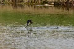 HolderFlyfishing Swallows. (3)