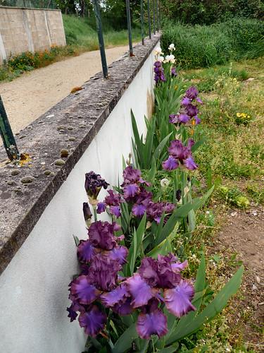 Irises along front wall