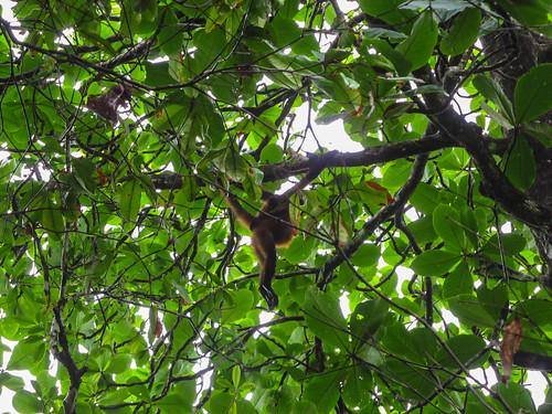Tortuguero: une maman singe-araignée et son petit sur le dos