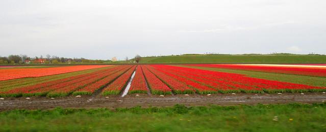 Dutch Tulips Again