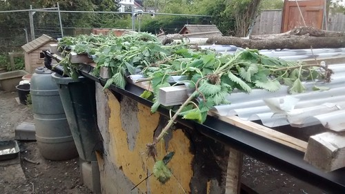 drying nettles May 16