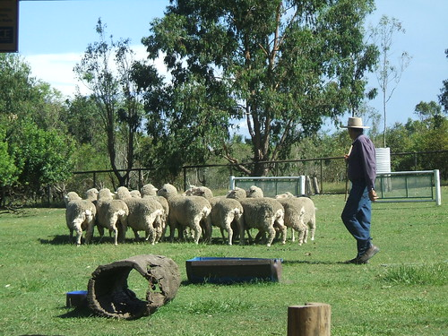 Herding merino sheep