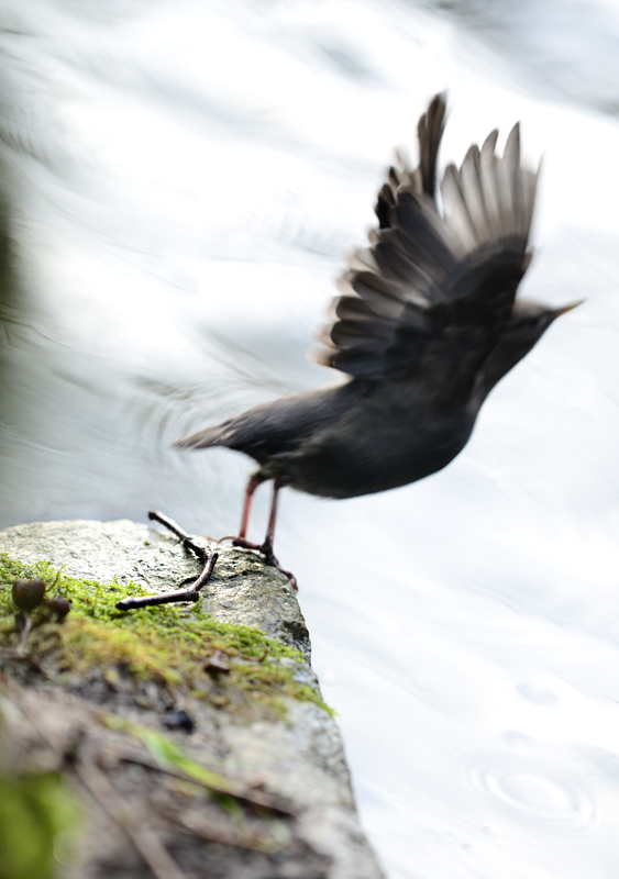 Dipper Taking Off