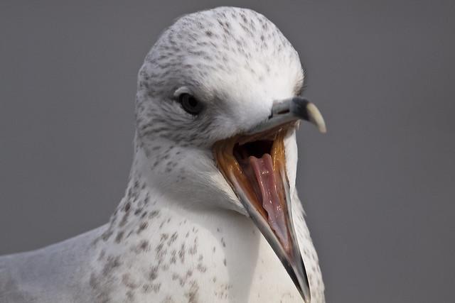gull11