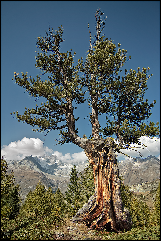 Suiza - Las montañas - Abeto alpino