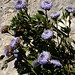 Globularia alypum (Mark Galliott)