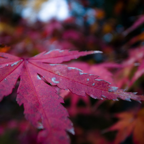 Autumn Red Japanese Maple Leaf (Momiji 紅葉)