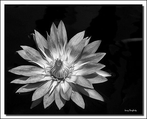 blackandwhite flower nature petals nikon louisiana waterlily neworleans ngc blossoms bloom saariysqualitypictures mygearandme mygearandmepremium mygearandmebronze