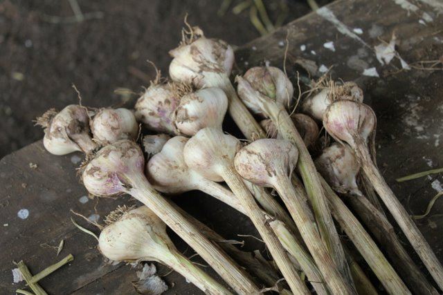 Purple Pear's biodynamic garlic
