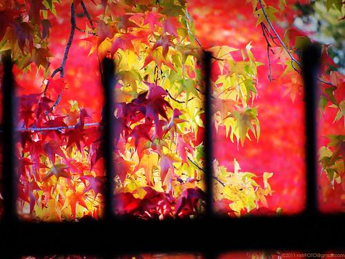 california autumn sunset red usa green fall leaves fence catchycolors fallcolors olympus fallfoliage handheld friday stockton warmlight sweetgum liquidambar 2011 epl1 microfourthirdscamera panasoniclumix45200mm nxtrfoto nextierphotography topazlenseffects