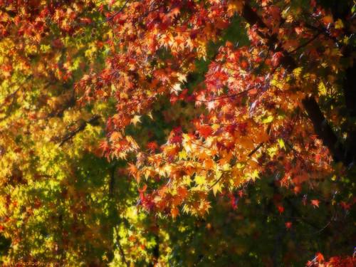 california autumn sunset red orange usa green fall leaves yellow catchycolors fallcolors olympus fallfoliage handheld stockton warmlight 2011 epl1 microfourthirdscamera panasoniclumix45200mm nxtrfoto nextierphotography topazlenseffects