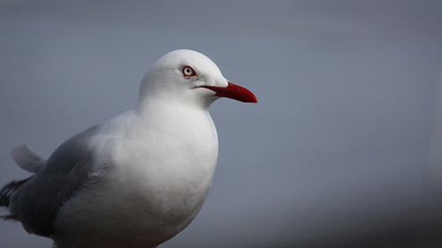 Red billed gull by ricmcarthur