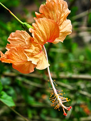 IMG_0419 Orange Hibiscus