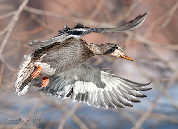Mallard Hen on the Wing