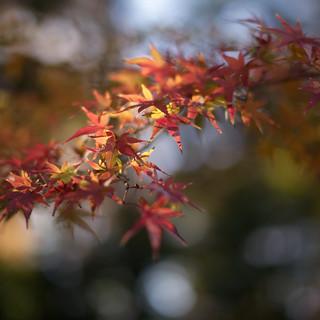 小石川公園 - 紅葉 [Explore]