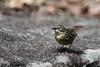 White-browed Scrubwren Sericornis frontalis Australia Bird