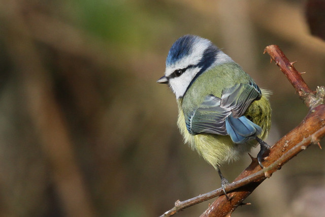 Blue Tit- Crested