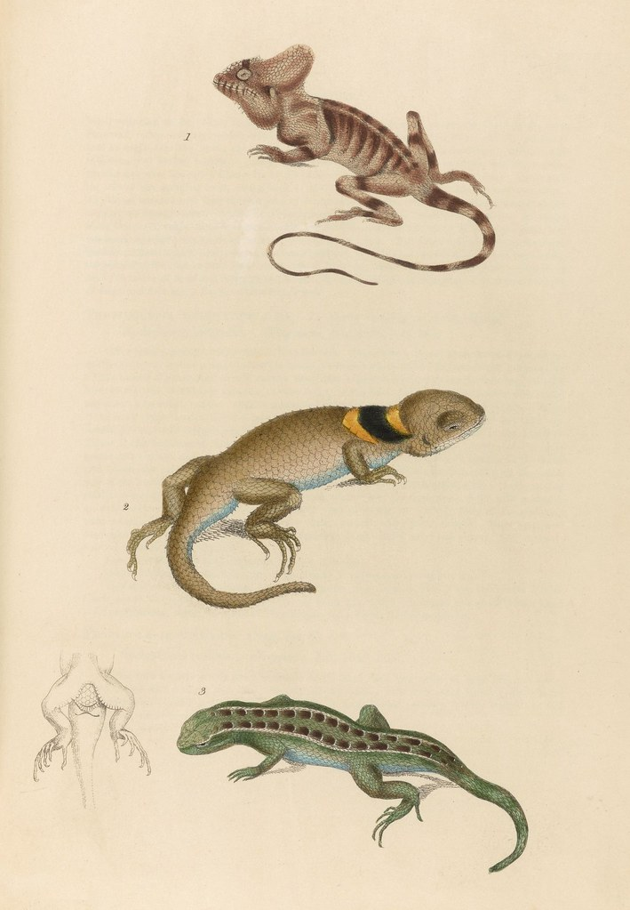 1820s zoology of Captain Beechey - Skinks