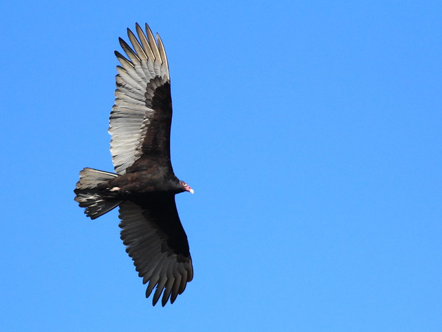Turkey Vulture 20111230