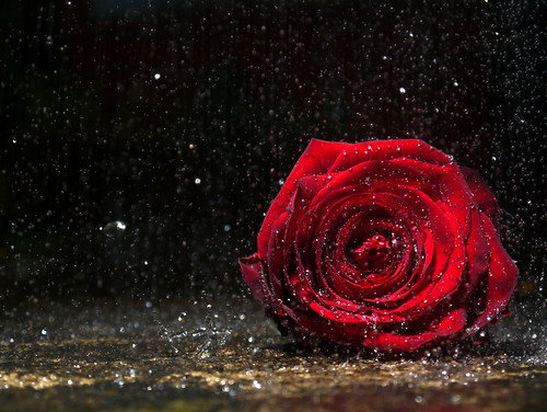 A rose, alone in the rain by denty1
