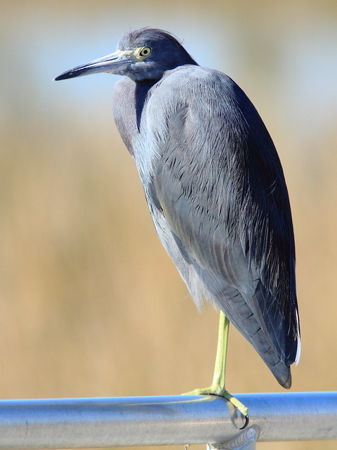 Little Blue Heron 3-20111230