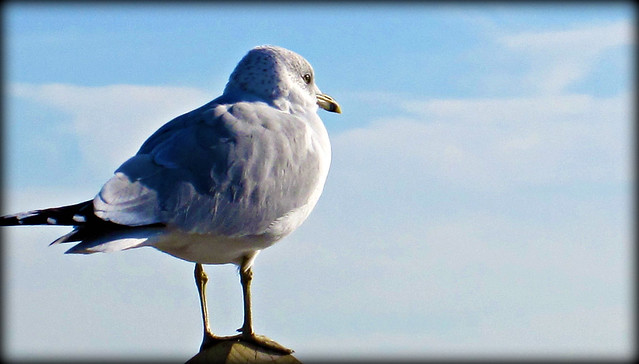 Beach Walk ~ Pretty grey sea gull
