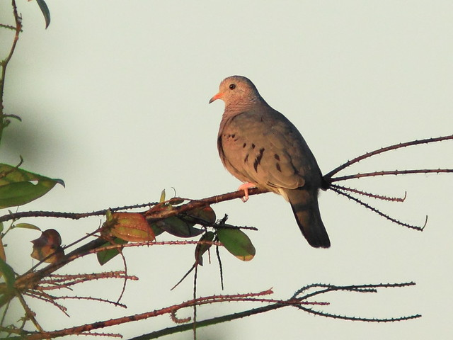 Common Ground-Dove 20120101