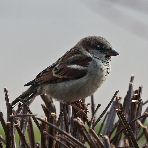 House Sparrow by matneym