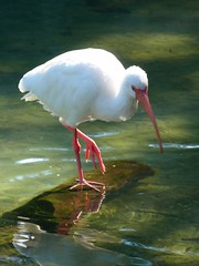 stork(0.0), spoonbill(0.0), flamingo(0.0), animal(1.0), water bird(1.0), fauna(1.0), ciconiiformes(1.0), beak(1.0), ibis(1.0), bird(1.0), wildlife(1.0),