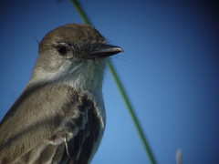 La Sagra's Flycatcher, Bill Baggs SP, FL