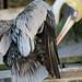 Small photo of Pelicano