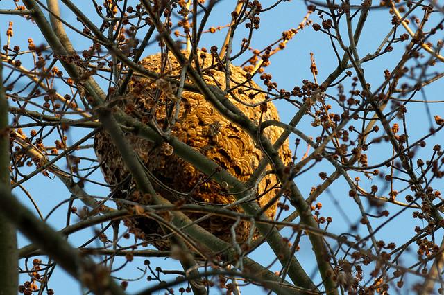 6675321571 0a3b944443 - Petit nid de frelon ...