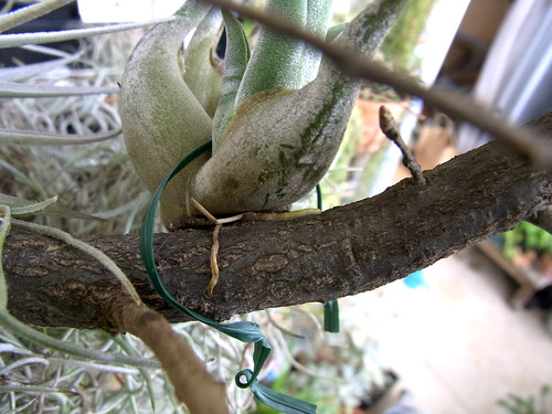 クヌギの細い枝に活着するカプトメデューサ