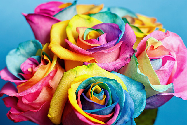 Colored roses flickr photo sharing for How to color roses rainbow