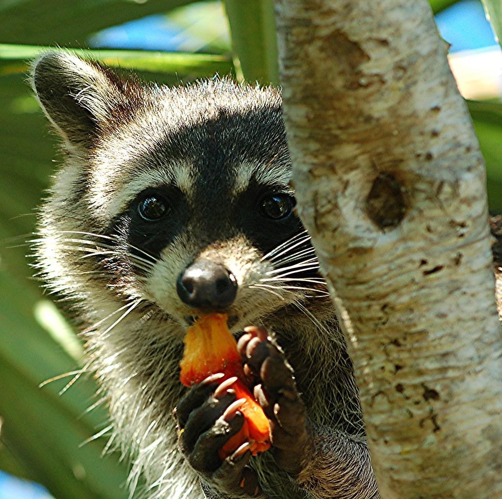 Raccoon eagerly devouring the juicy flesh of orange, ripe Screw Pine cone