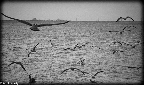 bw nature birds florida seagull flight ftpierce