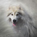 Brandon White Dog. by Isabelle Ann