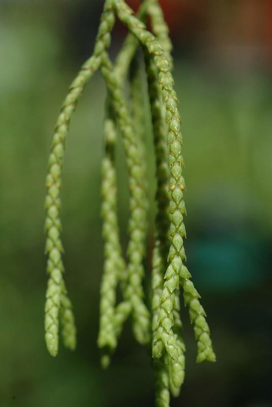 瀕臨絕滅(EN)小垂枝石松(攝影:張和明)