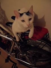 Gatos que amam bicicletas