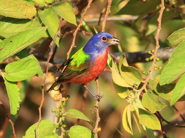Painted Bunting 4-20120118
