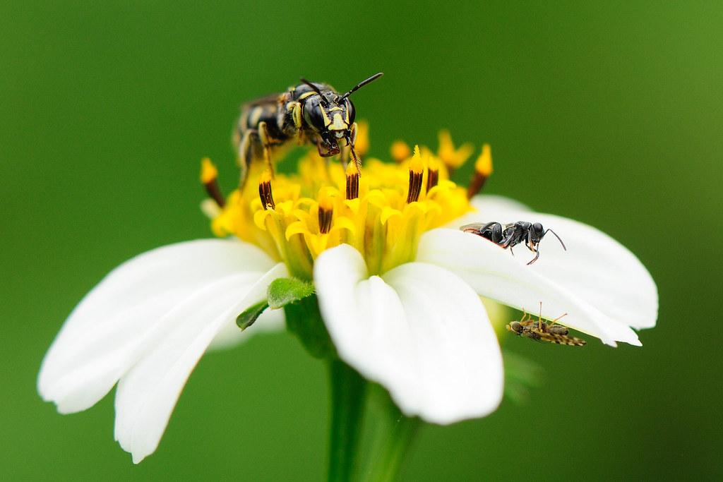 蘆蜂 Ceratina sp.