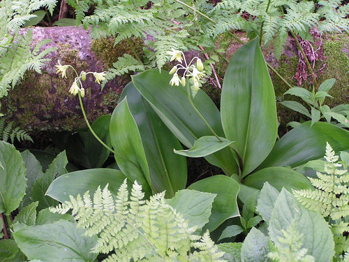 Blue-bead Lily, Yellow Corn Lily, Yellow Clintonia - Clintonia borealis