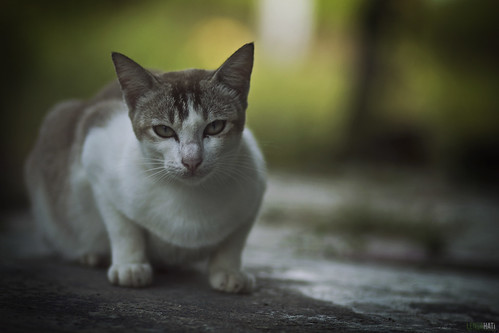 Malaysian House Cat