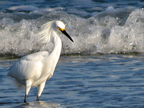 Snowy Egret | wavy
