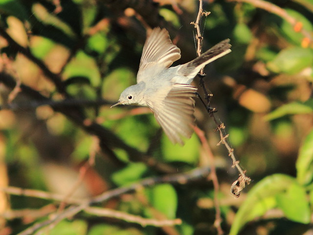 Blue-gray Gnatcatcher in flight 2-20120125