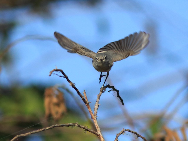 Blue-gray Gnatcatcher in flight 20120125