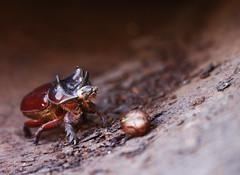 AFD-P52-S4_Escarabajo Rinoceronte